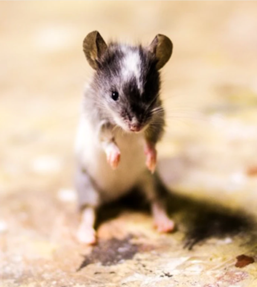 Beginner Rat Taxidermy Workshop